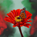 red-flower-and-monarch