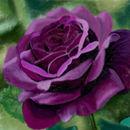 purple-rose