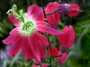 red-clematis