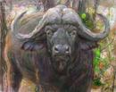 cape-buffalo