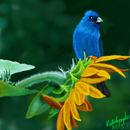 bluebird-and-sunflower